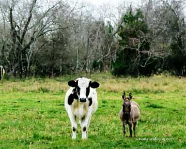 Picture of dairy cow and donkey at local farm